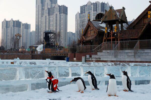 I pinguini Papua al festival internazionale della neve e del ghiaccio a Harbin, Cina. - Sputnik Italia