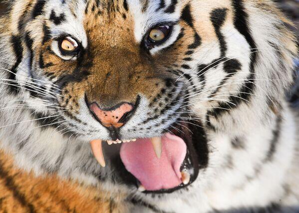 La tigre Amur nel parco safari Primorsky, Russia. - Sputnik Italia