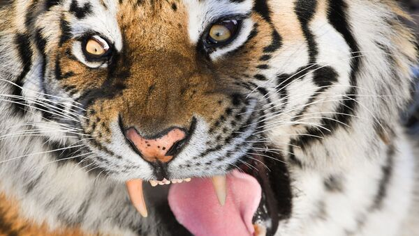 La tigre dell'Amur - Sputnik Italia