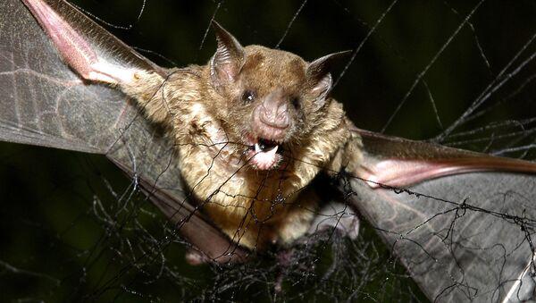 Летучая мышь-вампир - Sputnik Italia