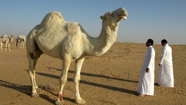 Camello in Arabia Saudita - Sputnik Italia