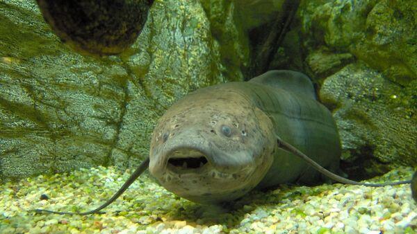 Un pez pulmonado, especie autóctona australiana - Sputnik Italia