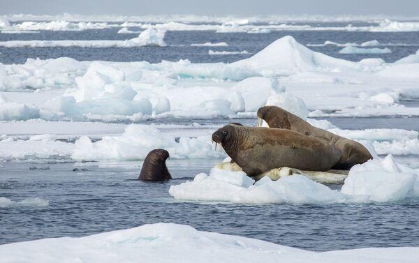 Trichechi, riserva artica 'Russkaya Arktica' - Terra di Francesco Giuseppe - Sputnik Italia