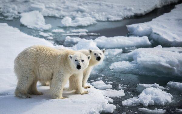 Orsi polari sul pack polare presso la Terra di Francesco Giuseppe - Sputnik Italia