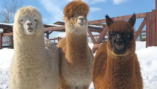 Gli alpaca russi - Sputnik Italia