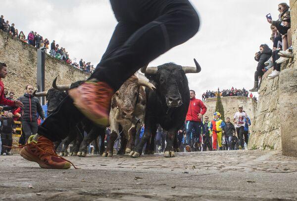 La gente corre insieme ai buoi durante il Carnevale del Toro a Ciudad Rodrigo, Spagna. - Sputnik Italia