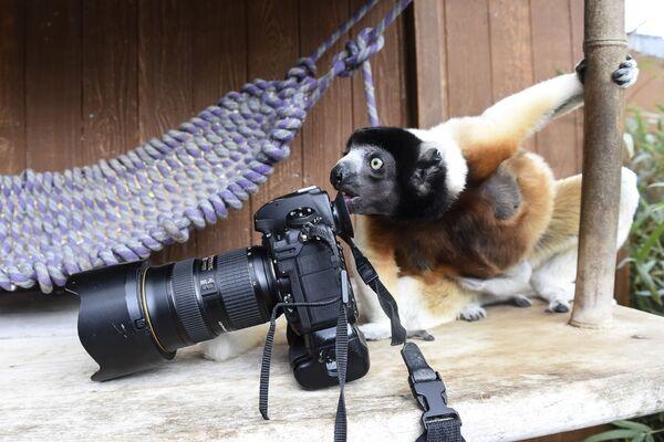 Una femmina sifaca osserva la camera di un fotografo allo zoo di Mulhouse, Francia. - Sputnik Italia