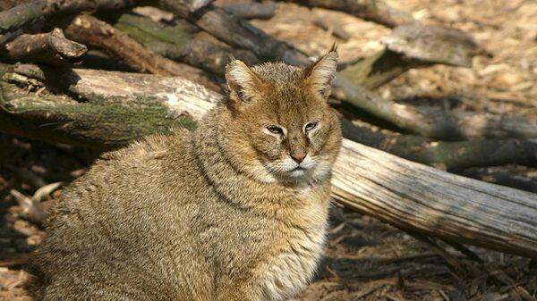 Il gatto della giungla - Sputnik Italia