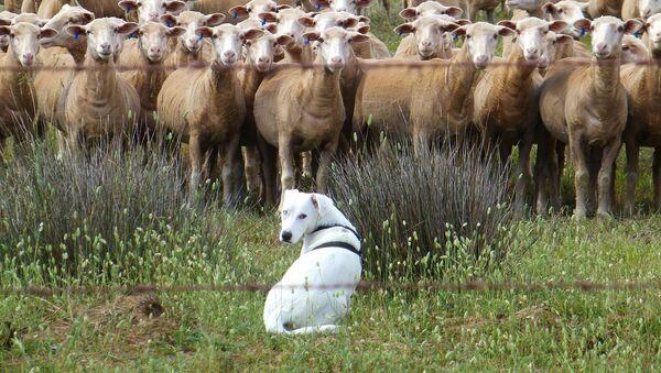 Cane pastore e gregge - Sputnik Italia