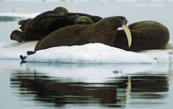 Trichechi all'isola di Herald (parco naturale isola di Wrangel) - Sputnik Italia