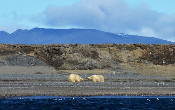 Due orsi bianchi alla baia di Blossom, isola di Wrangel - 2017 - Sputnik Italia