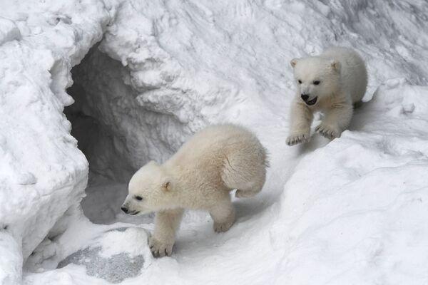Orsi polari allo zoo di Novosibirsk - Sputnik Italia