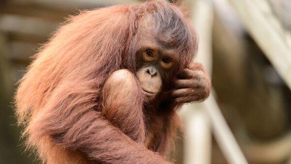 Un orangotango - Sputnik Italia