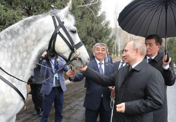 28 marzo 2019 - il presidente Putin con il cavallo di razza Orlov donatogli dal presidente del Kyrgyzstan Sooronbay Zheenbekov - Sputnik Italia