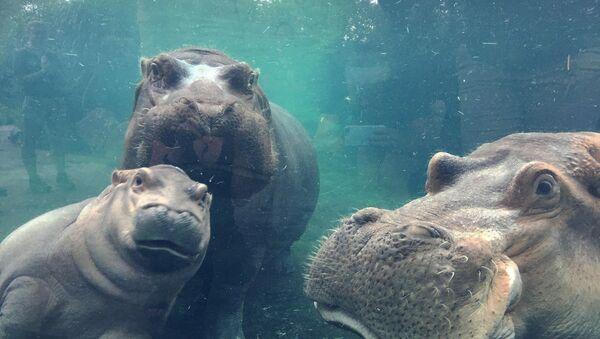 Un cucciolo dell'ippopotamo Fiona con i suoi genitori allo zoo di Cincinnati. - Sputnik Italia