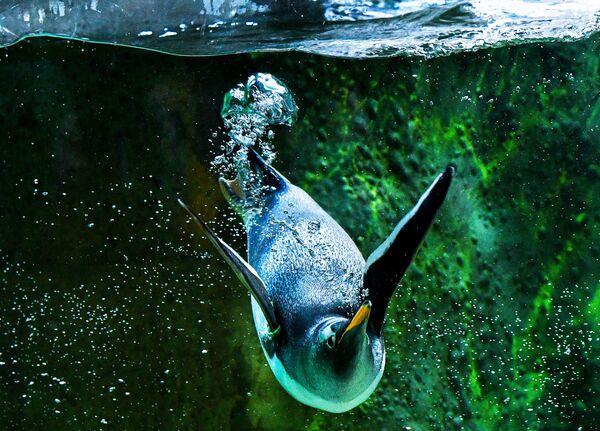 Un penguino allo zoo di Mosca. - Sputnik Italia