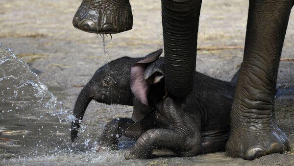 Новорожденный слоненок у ног матери в зоопарке Вупперталя, Германия - Sputnik Italia