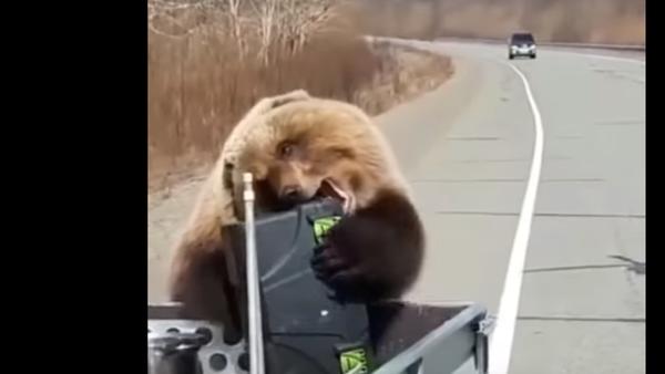 Russia: orso ruba borsa frigo da automobile - Sputnik Italia