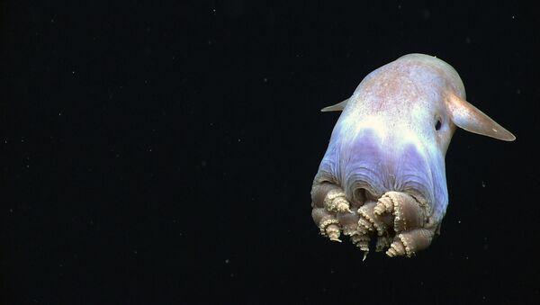Grimpoteuthis conosciuto come polpo Dumbo.  - Sputnik Italia