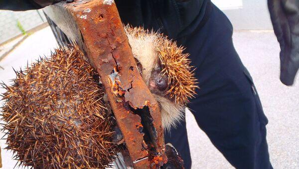 In Austria salvato un riccio incastrato nel cancello - Sputnik Italia