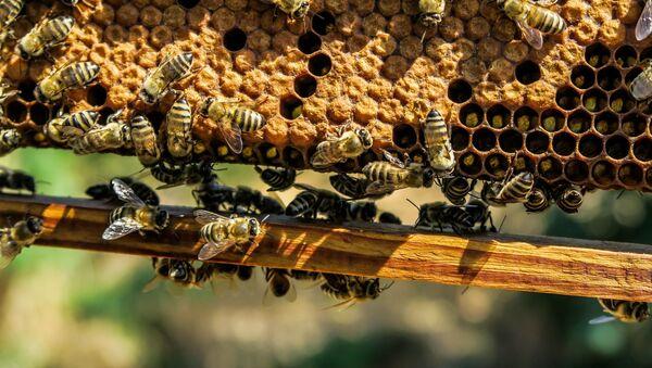 Le api - Sputnik Italia