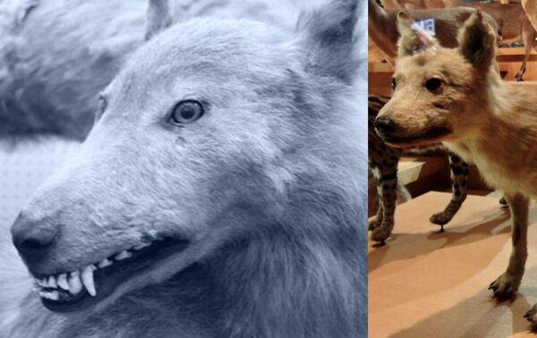EZO e HONSHŪ, i lupi giapponesi - Specimen al Museo di Tokyo - Sputnik Italia
