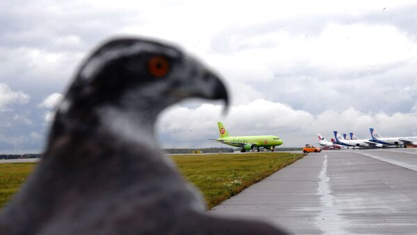 Un falco in servizio all'aeroporto di Domodedovo - Sputnik Italia