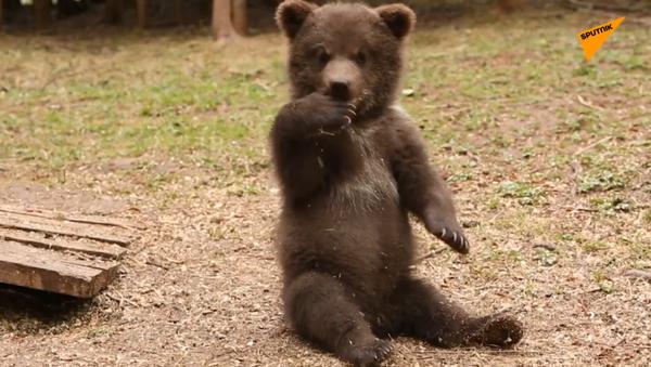 """Orfanotrofio"" per cuccioli d'orso - Sputnik Italia"