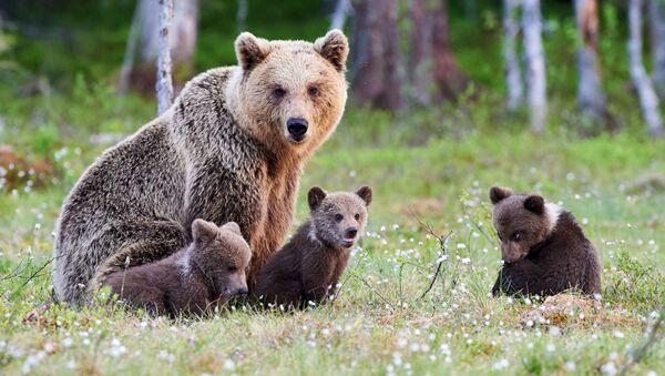 Una mamma orsa con i suoi orsetti nella taiga russa - Sputnik Italia