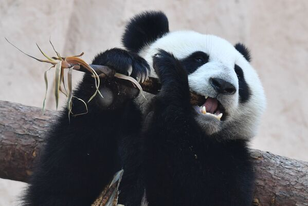 Il panda donato allo Zoo di Mosca dalla Cina. - Sputnik Italia