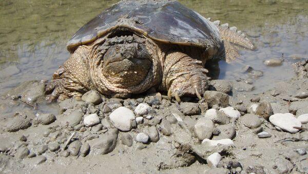 Una tartaruga (foto d'archivio) - Sputnik Italia