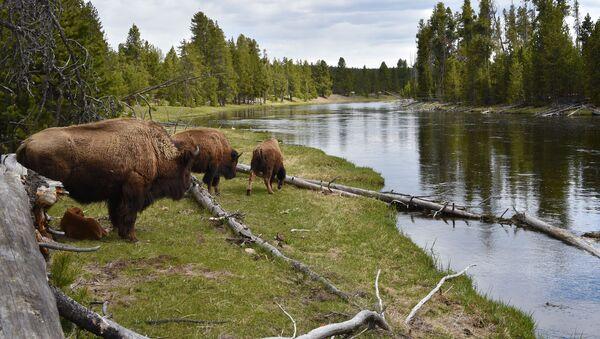 Bisonti nel Parco Nazionale di Yellowstone - Sputnik Italia