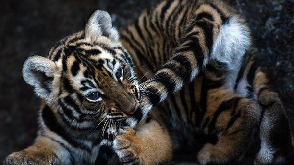 Il cucciolo di tigre del Bengala. - Sputnik Italia