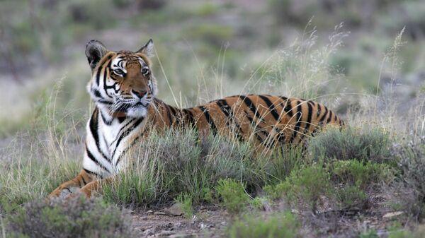 Южно-китайский тигр - Sputnik Italia
