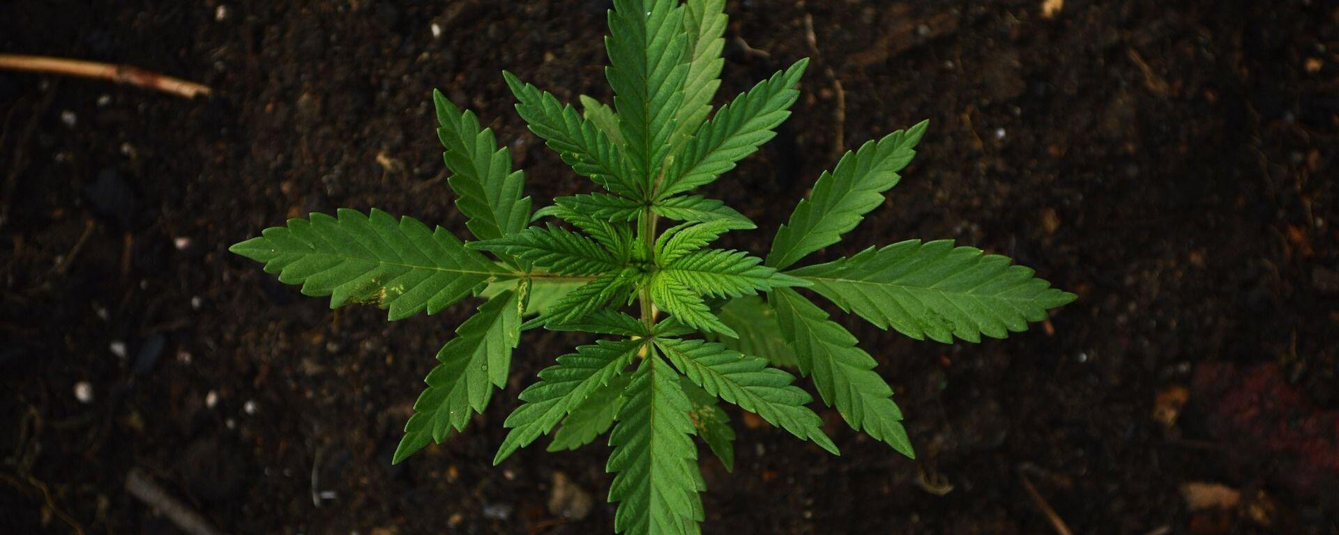 Cannabis  - Sputnik Italia, 1920, 30.07.2019