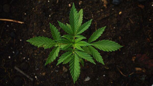 Cannabis  - Sputnik Italia