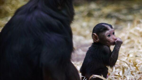 Piccolo di macaco appena nato  - Sputnik Italia