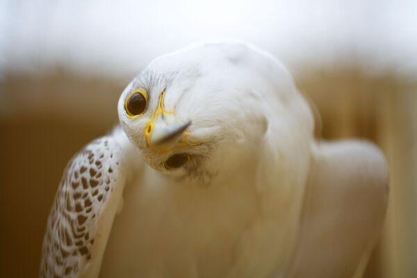 Un falcone nel Centro di Falconeria a Fuenstespina, in Spagna. - Sputnik Italia