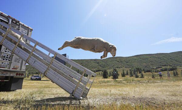 Delle pecore saltano da un camion al campionato Soldier Hollow Classic Sheepdog Championship negli Stati Uniti. - Sputnik Italia
