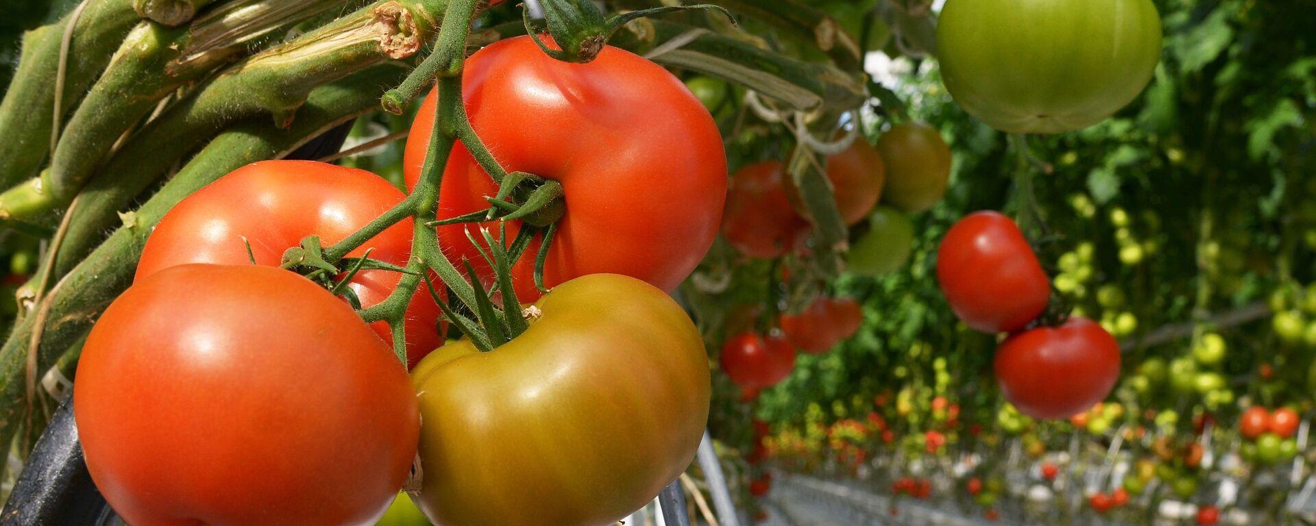 Pomodori in serra - Sputnik Italia, 1920, 27.04.2021