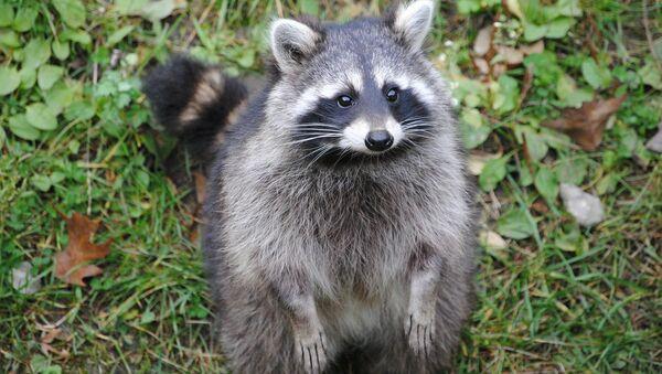 Raccoon - Sputnik Italia