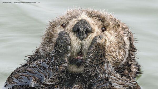Lontra di mare e le sue emozioni genuine. Lo scatto del fotografo americano Harry M. Walker. - Sputnik Italia