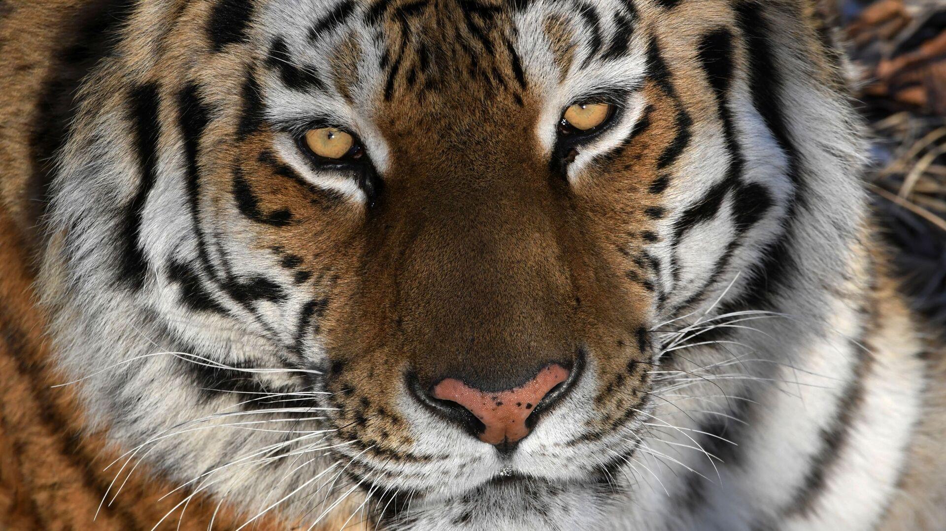 La tigre dell'Amur - Sputnik Italia, 1920, 15.09.2021