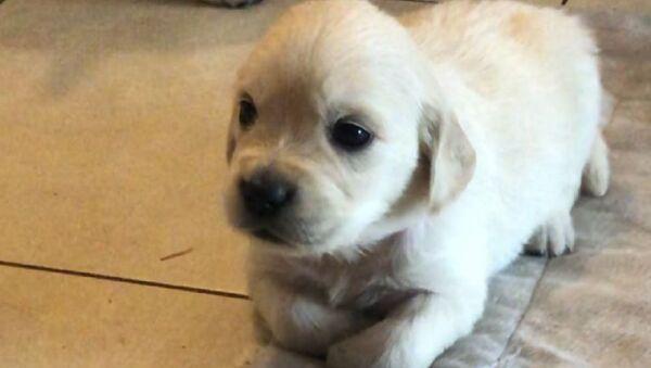 Golden Retriever cucciolo sul pavimento  - Sputnik Italia