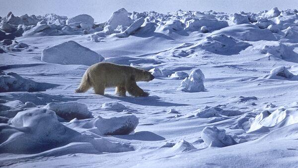 Orso polare  - Sputnik Italia