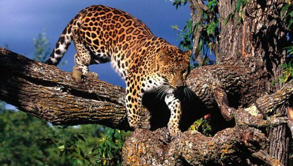 Амурский леопард на дереве - Sputnik Italia