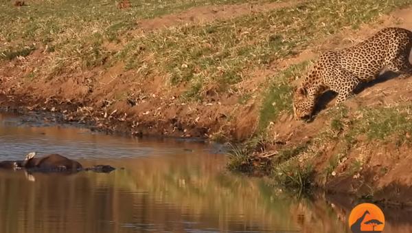 Immortalata in un video la lotta tra un leopardo e un coccodrillo per il cibo - Sputnik Italia