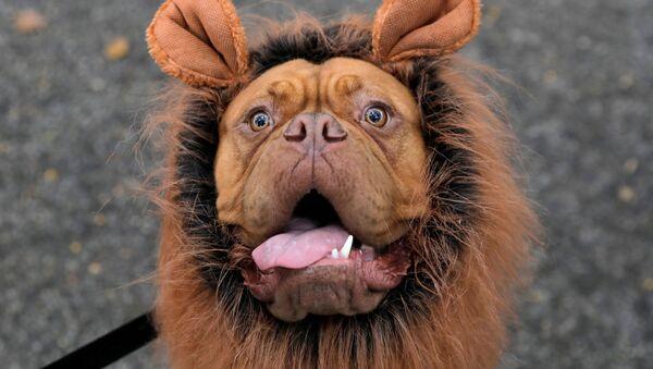 I partecipanti all'annuale Halloween Dog Parade di New York - Sputnik Italia