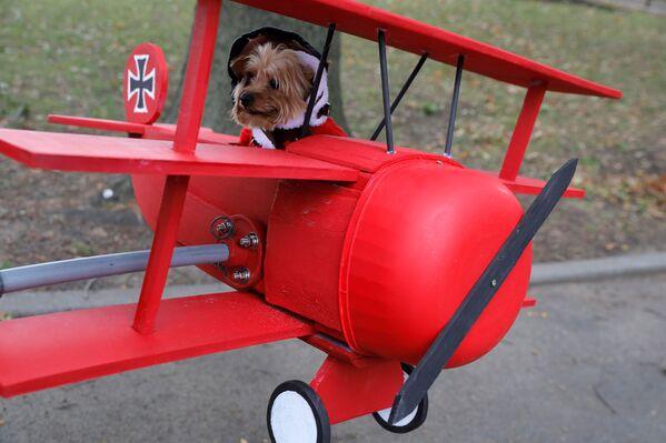 Lincoln vestito come il barone rosso all'annuale Halloween Dog Parade a New York - Sputnik Italia