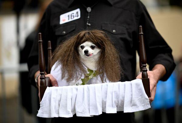 Un cane vestito come Regan del film 'L'Esorcista' all'annuale Halloween Dog Parade a New York, il 20 ottobre 2019. - Sputnik Italia